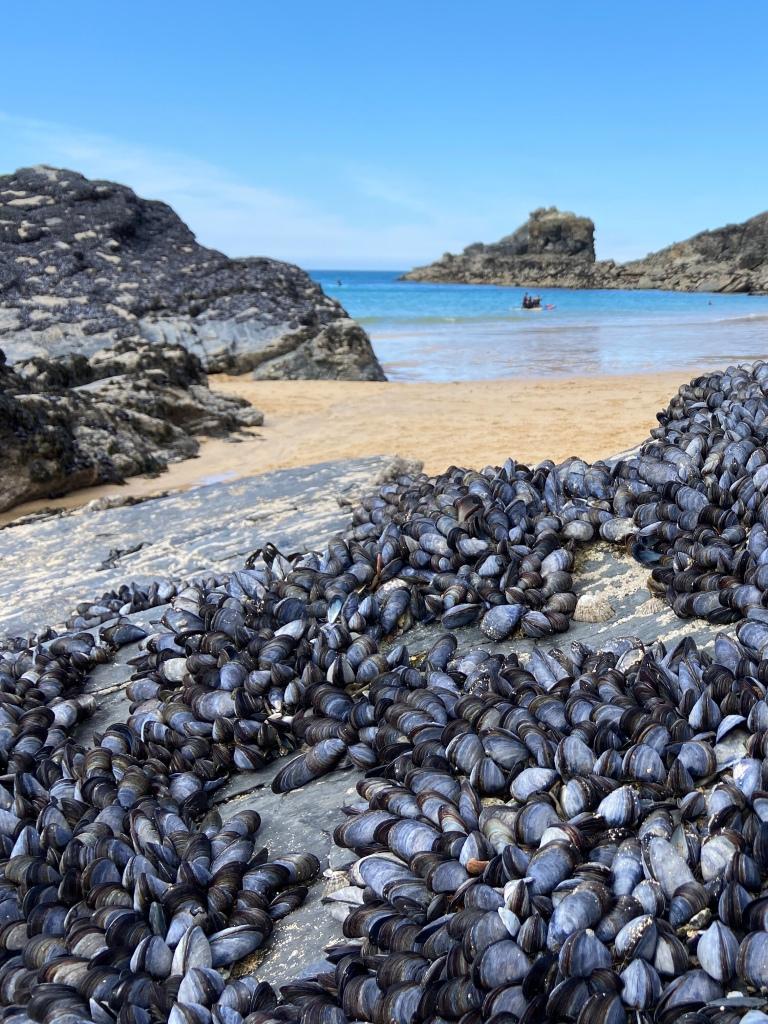 mussels on rocks trevone beach cornwall