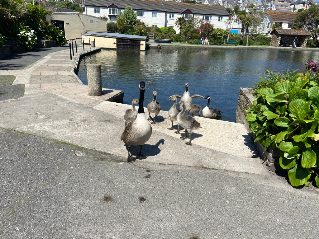 Geese and Goslings in Perranporth by a lake
